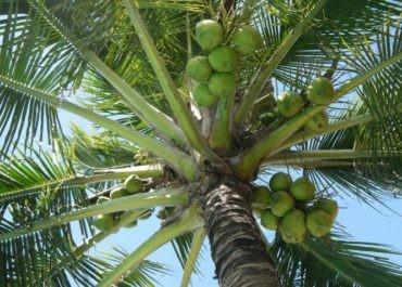 Co to jest woda kokosowa?